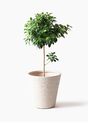 観葉植物 フィカス ナナ 7号 ノーマル ビアスソリッド 白 付き