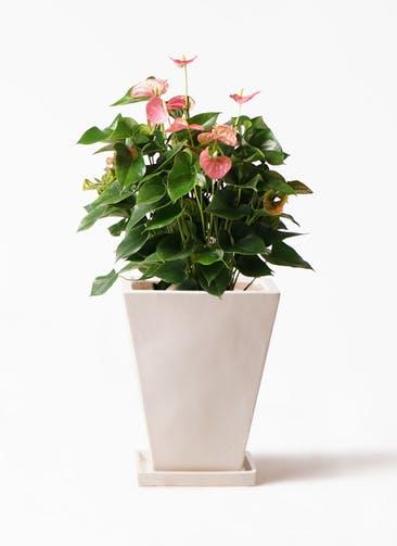 観葉植物 アンスリウム 8号 ピンクチャンピオン スクエアハット 白 付き
