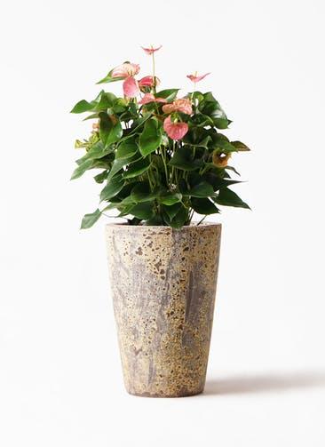 観葉植物 アンスリウム 8号 ピンクチャンピオン アトランティス クルーシブル 付き