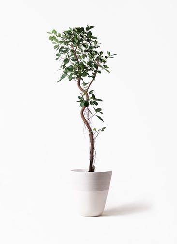 観葉植物 フィカス ジャンボリーフ 10号 ジュピター 白 付き