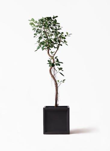 観葉植物 フィカス ジャンボリーフ 10号 ブリティッシュキューブ 付き