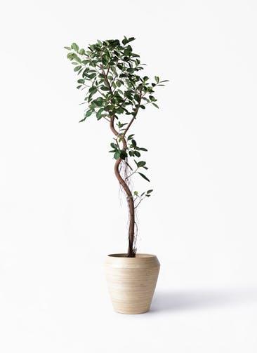 観葉植物 フィカス ジャンボリーフ 10号 アルマ ミドル 付き