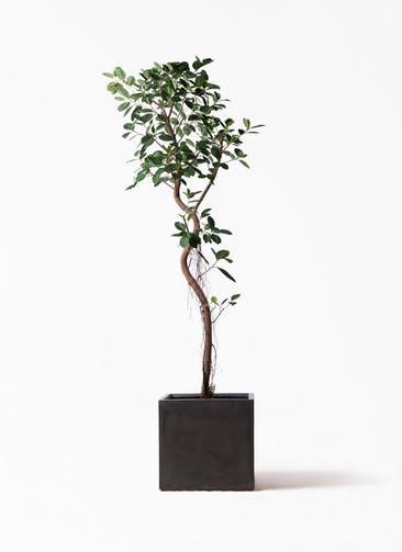 観葉植物 フィカス ジャンボリーフ 10号 ファイバークレイ キューブ 付き