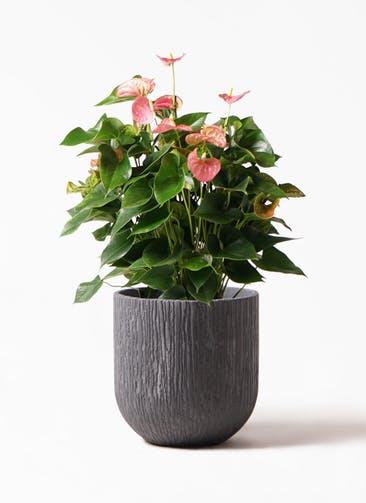 観葉植物 アンスリウム 8号 ピンクチャンピオン カルディナダークグレイ 付き