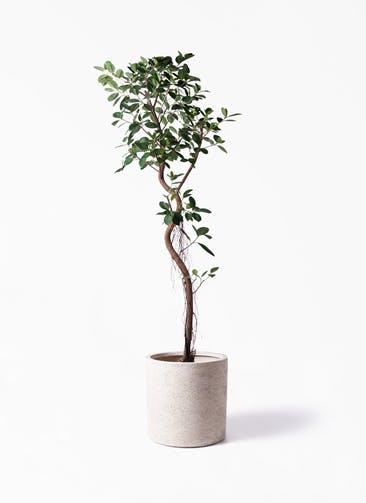 観葉植物 フィカス ジャンボリーフ 10号 サンディ シリンダー 白 付き