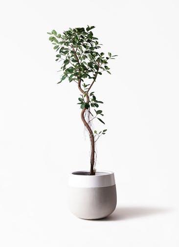 観葉植物 フィカス ジャンボリーフ 10号 ファイバーストーンタウルス ミドル 白 付き