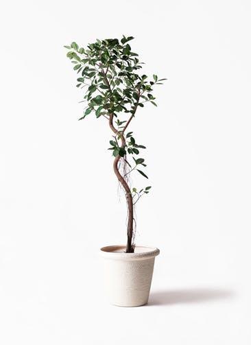 観葉植物 フィカス ジャンボリーフ 10号 ビアスリムス 白 付き