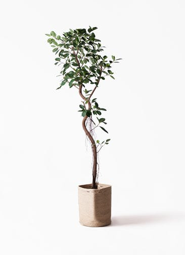 観葉植物 フィカス ジャンボリーフ 10号 リブバスケットNatural 付き