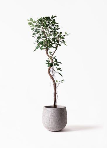 観葉植物 フィカス ジャンボリーフ 10号 エコストーンGray 付き