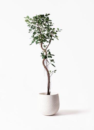 観葉植物 フィカス ジャンボリーフ 10号 エコストーンwhite 付き