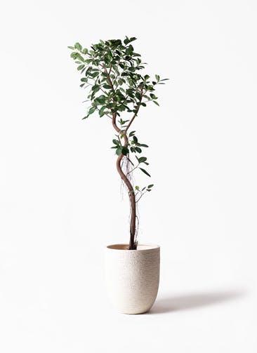 観葉植物 フィカス ジャンボリーフ 10号 ビアスアルトエッグ 白 付き
