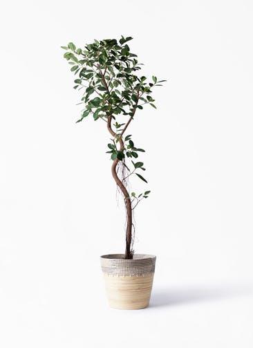 観葉植物 フィカス ジャンボリーフ 10号 アルマ コニック 白 付き