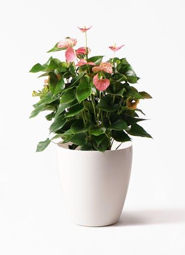 観葉植物 アンスリウム 8号 ピンクチャンピオン ラスターポット 付き