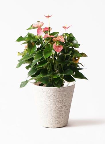 観葉植物 アンスリウム 8号 ピンクチャンピオン ビアスソリッド 白 付き