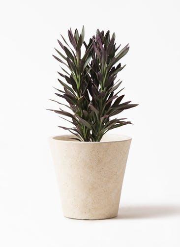 観葉植物 コルディリネ (コルジリネ) サンゴ 7号 フォリオソリッド クリーム 付き