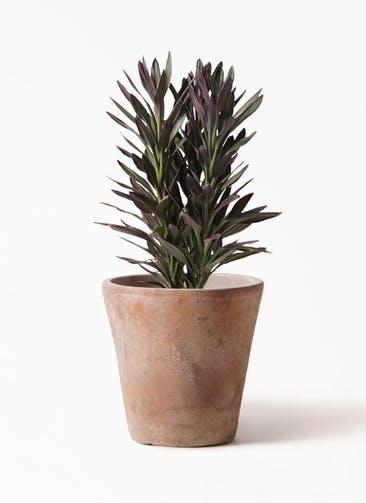 観葉植物 コルディリネ (コルジリネ) サンゴ 7号 ルーガ アンティコ ソリッド 付き