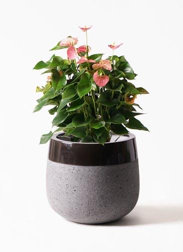 観葉植物 アンスリウム 8号 ピンクチャンピオン ファイバーストーンタウルス 黒 付き