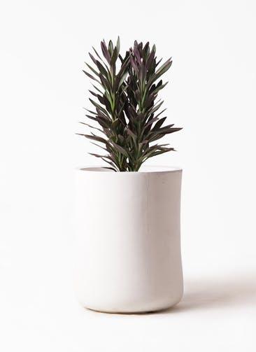 観葉植物 コルディリネ (コルジリネ) サンゴ 7号 バスク ミドル ホワイト 付き