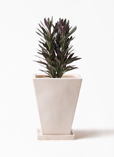 観葉植物 コルディリネ (コルジリネ) サンゴ 7号 スクエアハット 白 付き