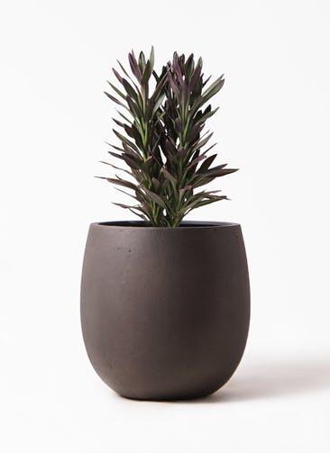 観葉植物 コルディリネ (コルジリネ) サンゴ 7号 テラニアス バルーン アンティークブラウン 付き