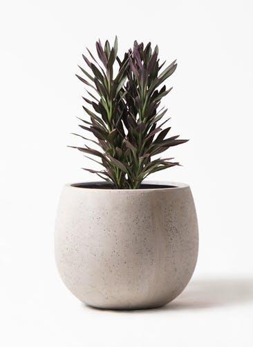 観葉植物 コルディリネ (コルジリネ) サンゴ 7号 テラニアス ローバルーン アンティークホワイト 付き