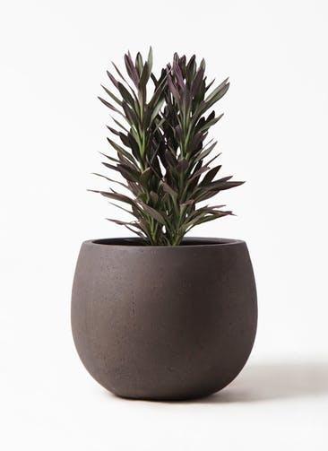 観葉植物 コルディリネ (コルジリネ) サンゴ 7号 テラニアス ローバルーン アンティークブラウン 付き