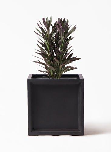 観葉植物 コルディリネ (コルジリネ) サンゴ 7号 ブリティッシュキューブ 付き