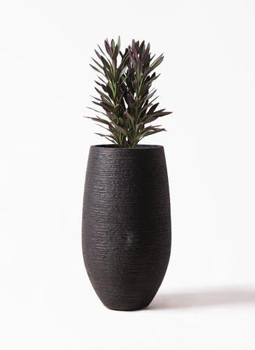 観葉植物 コルディリネ (コルジリネ) サンゴ 7号 フォンティーヌトール 黒 付き