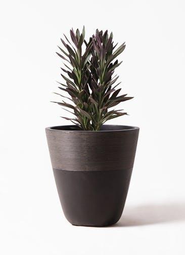 観葉植物 コルディリネ (コルジリネ) サンゴ 7号 ジュピター 黒 付き