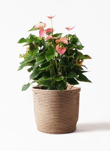 観葉植物 アンスリウム 8号 ピンクチャンピオン リブバスケットNatural 付き