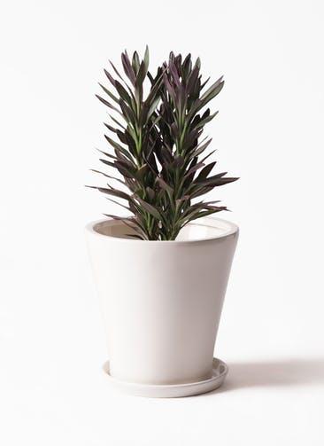 観葉植物 コルディリネ (コルジリネ) サンゴ 7号 サブリナ 白 付き