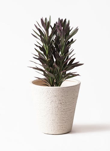 観葉植物 コルディリネ (コルジリネ) サンゴ 7号 ビアスソリッド 白 付き