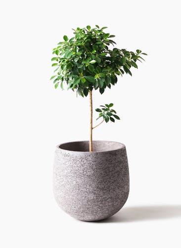 観葉植物 フィカス ナナ 7号 ノーマル エコストーンGray 付き