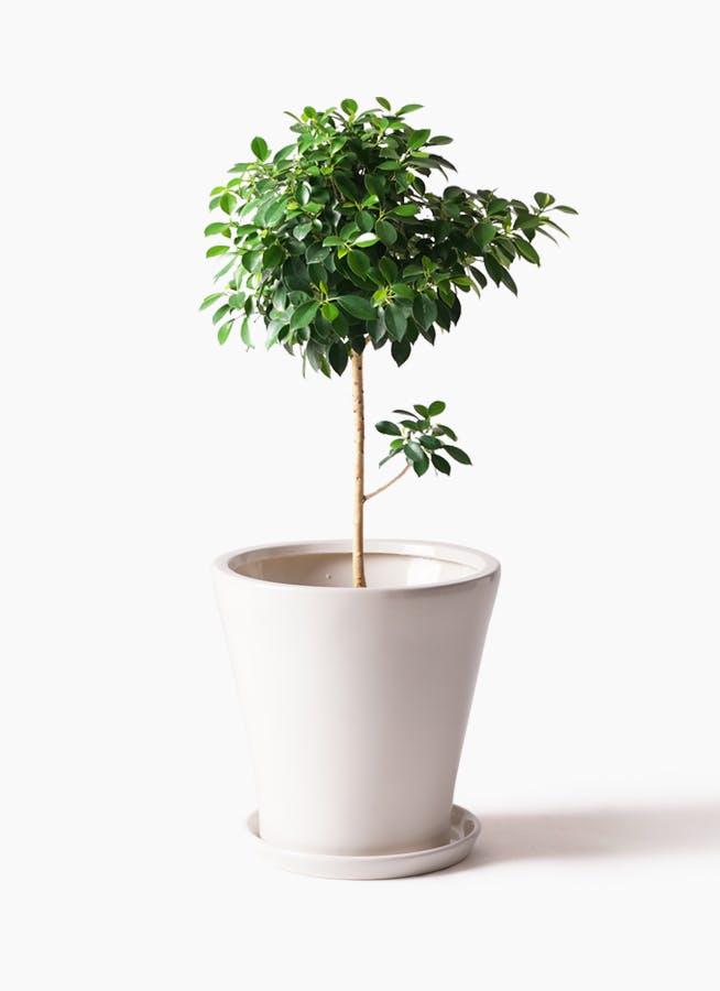観葉植物 フィカス ナナ 7号 ノーマル サブリナ 白 付き