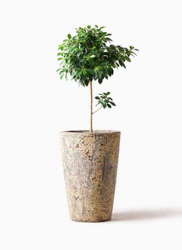 観葉植物 フィカス ナナ 7号 ノーマル アトランティス クルーシブル 付き