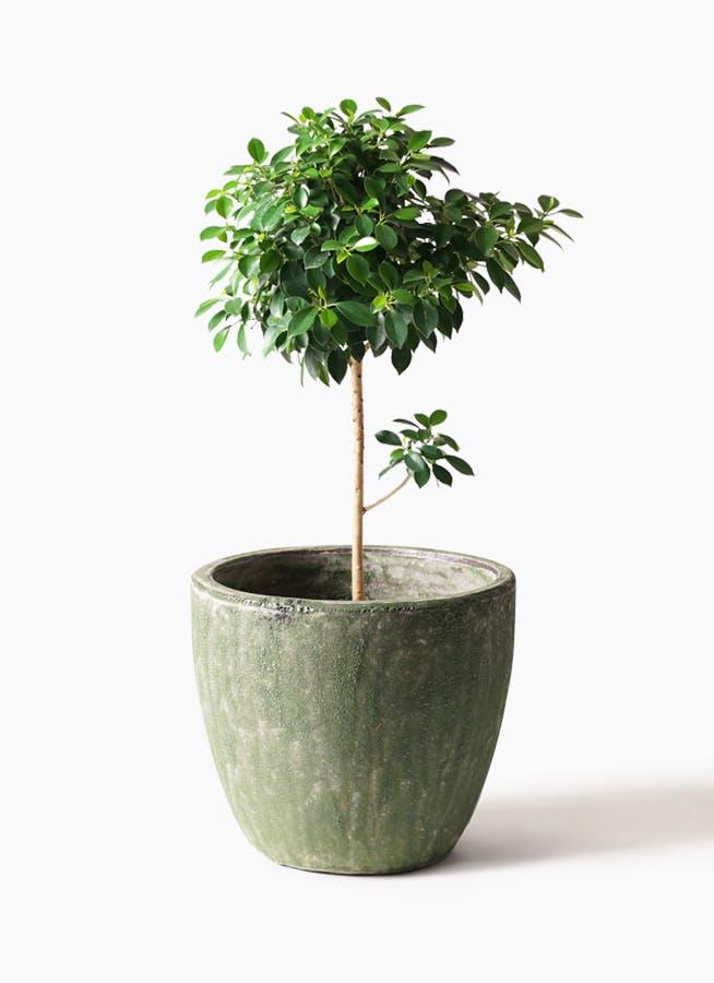 観葉植物 フィカス ナナ 7号 ノーマル アビスソニアミドル 緑 付き