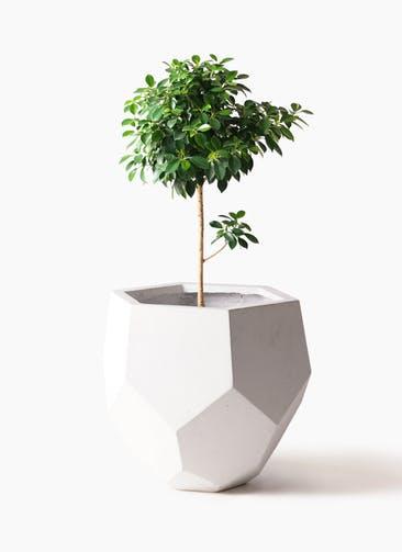 観葉植物 フィカス ナナ 7号 ノーマル ポリゴヘクサ 白 付き