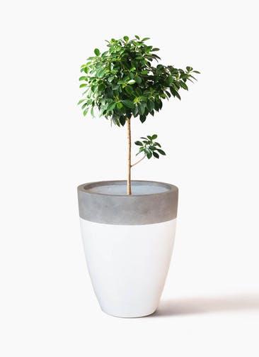 観葉植物 フィカス ナナ 7号 ノーマル ファイバーストーンカプリ 白 付き