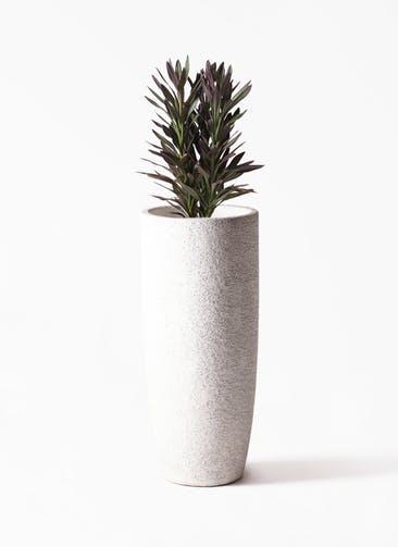観葉植物 コルディリネ (コルジリネ) サンゴ 7号 エコストーントールタイプ white 付き