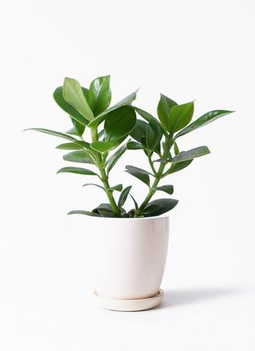 観葉植物 クルシア ロゼア プリンセス 4号 アステア トール ホワイト 付き