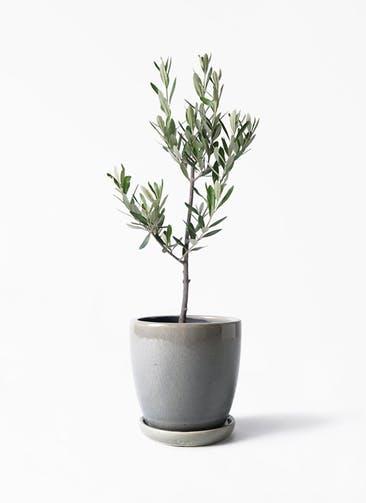 観葉植物 オリーブの木 3号 創樹 アステア トール ライトグレー 付き