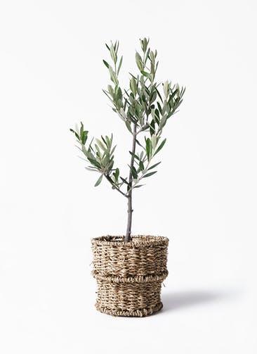 観葉植物 オリーブの木 3号 創樹 バスケット 付き