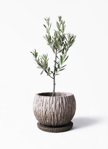 観葉植物 オリーブの木 3号 創樹 ストーン ウェア セラミック 付き