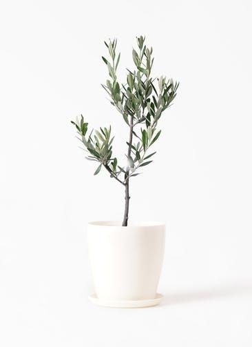 観葉植物 オリーブの木 3号 創樹 ラスターポット 付き