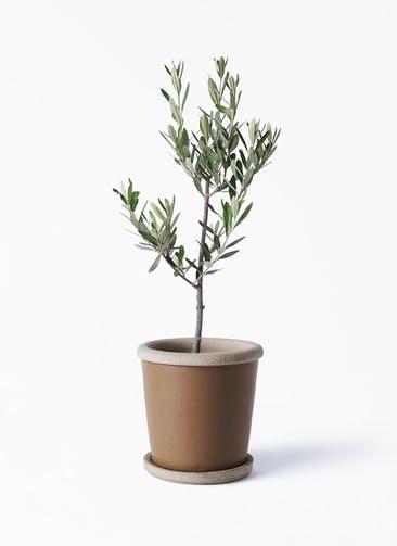 観葉植物 オリーブの木 3号 創樹 キャメルポット ブラウン 付き
