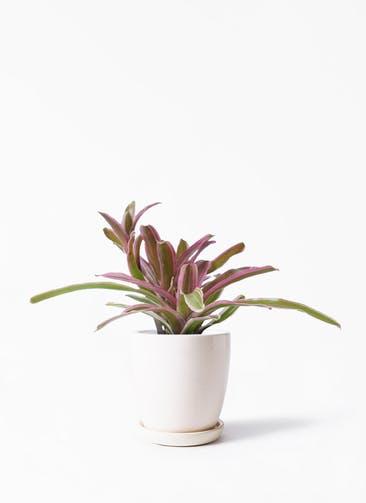 観葉植物 ネオレゲリア 3号 アステア トール ホワイト 付き