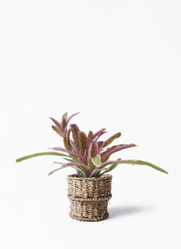 観葉植物 ネオレゲリア 3号 バスケット 付き