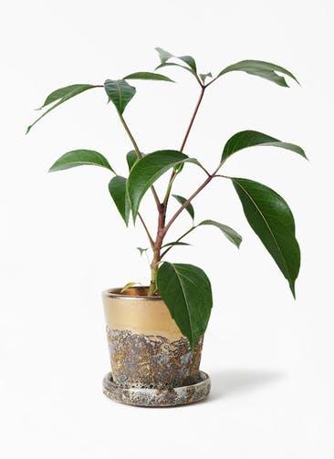 観葉植物 ツピダンサス 3.5号 ボサ造り ハレー ブロンズ 付き