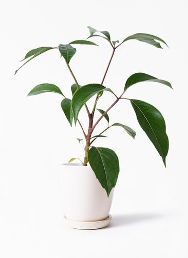 観葉植物 ツピダンサス 3.5号 ボサ造り アステア トール ホワイト 付き