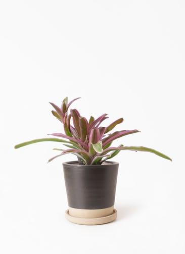 観葉植物 ネオレゲリア 3号 マット グレーズ テラコッタ ブラック 付き